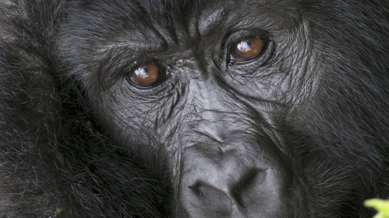 African Mountain Gorilla