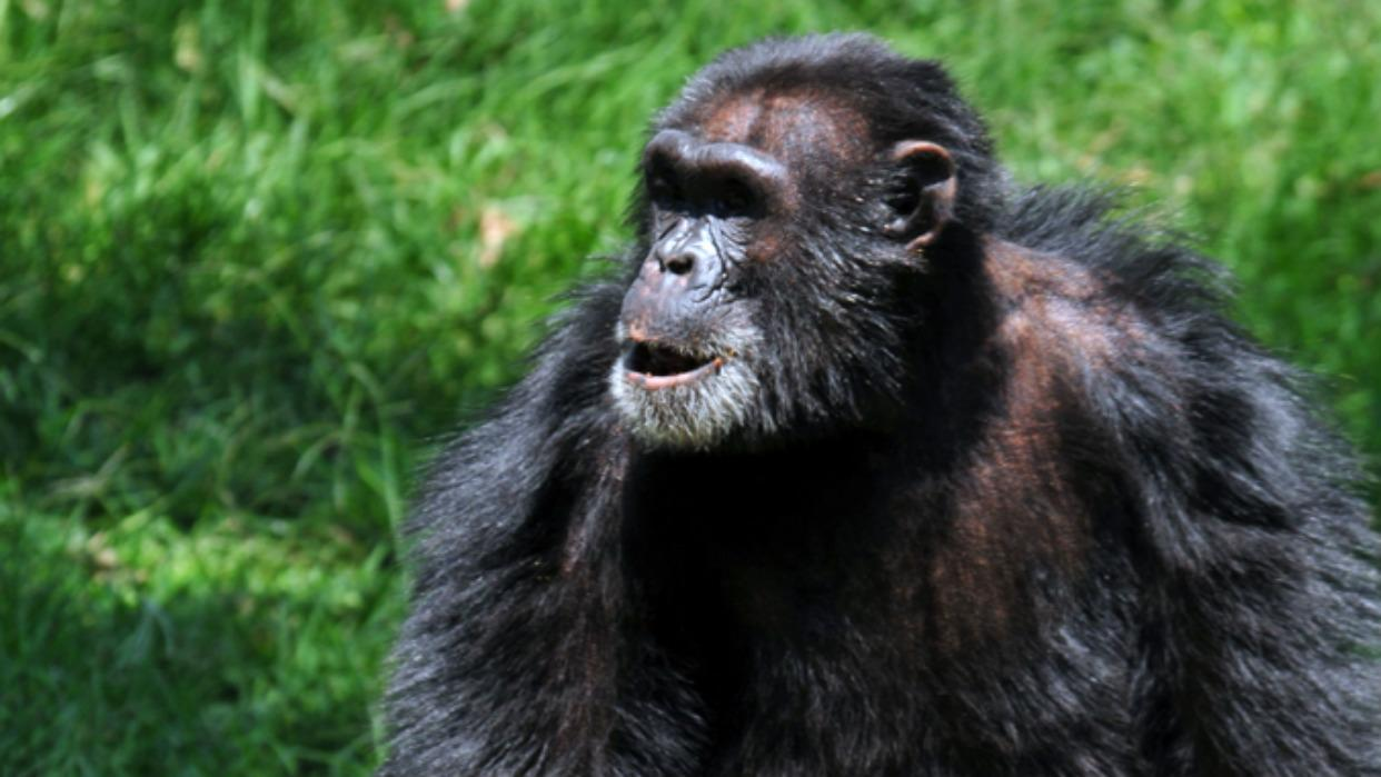 Zakayo The chimpanzee