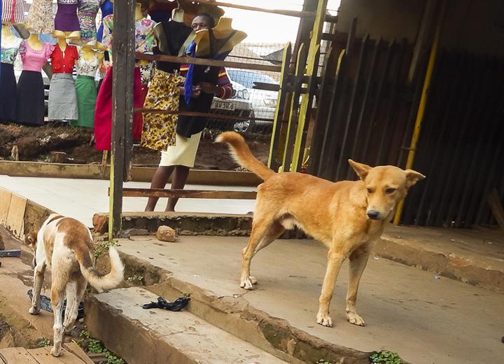 Stray Dogs in Uganda