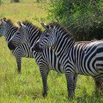 zebras-lake-mburo