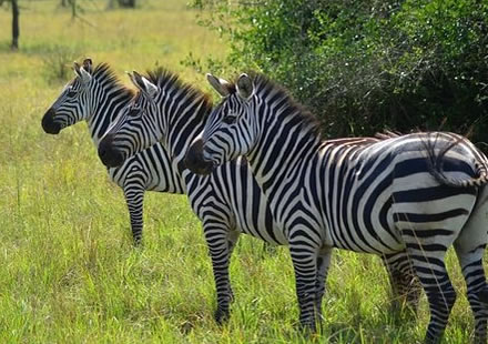 Zebras in Lake Mburo National Park
