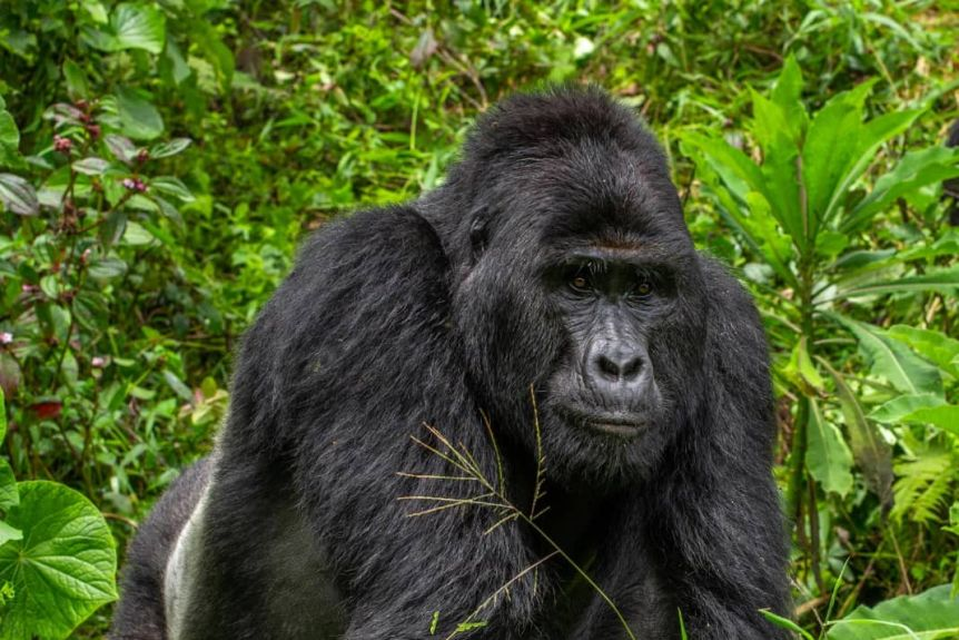 Rafiki the Gorilla
